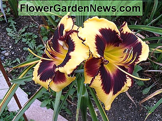 Hemerocallis 'Holly Dancer' (Daylily)