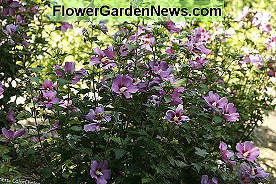 Hibiscus syriacus 'Purple Satin' (Sharon rózsa)
