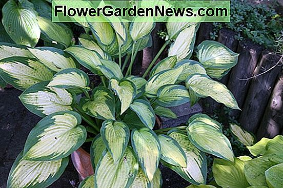 "Hosta (Tardiana csoport) ""Kék hold"" (Liliom plantain)"