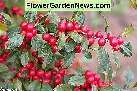 Ilex verticillata 'Little Goblin Red' (Winterberry)