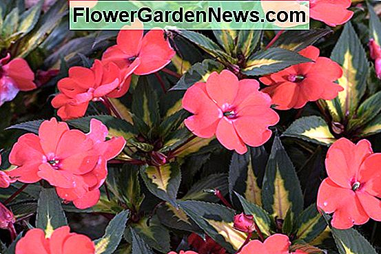 Impatiens 'Sunpatiens Compact Orange'
