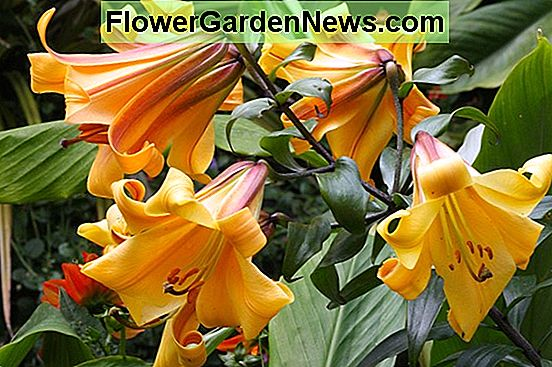 Lilium 'African Queen' (Tromba Lily)