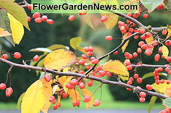 Malus 'Indian Summer' (Crabapple)