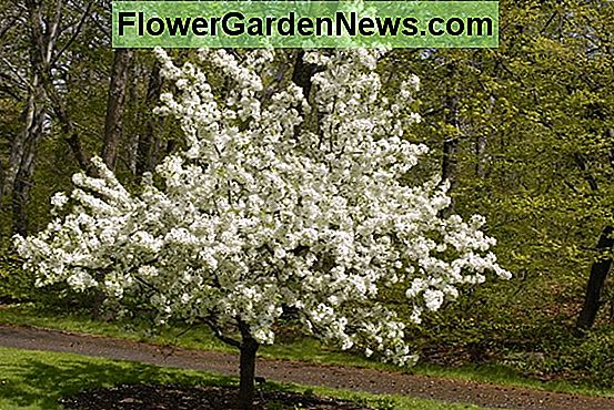 Malus 'White Angel' (Crabapple)