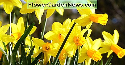 Narcissus 'Velocity' (Cyclamineus Daffodil)