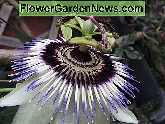 Passiflora 'Party Animal' (Passiflora)