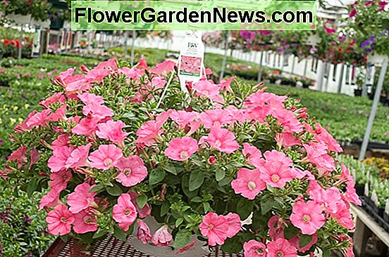 Petunia 'Supertunia Bermuda Beach'