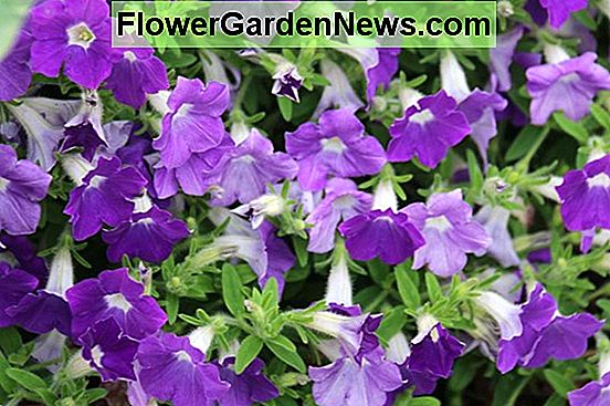 "Petunia ""Supertunia Morning Glory Charm"""