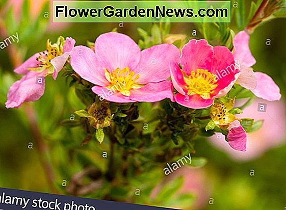 Potentilla fruticosa 'Red Ace' (Shrubby Cinquefoil)