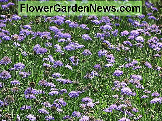 Scabiosa 'Butterfly Blue' (Fiore Puntaspilli)