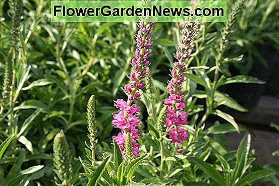 Veronica spicata 'Red Fox' (Spike Speedwell)