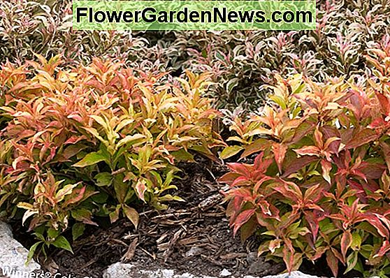 Weigela florida 'My Monet Sunset'
