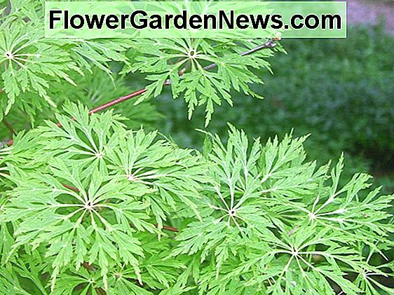 Acer japonicum 'Green Cascade' (Full Moon Maple)