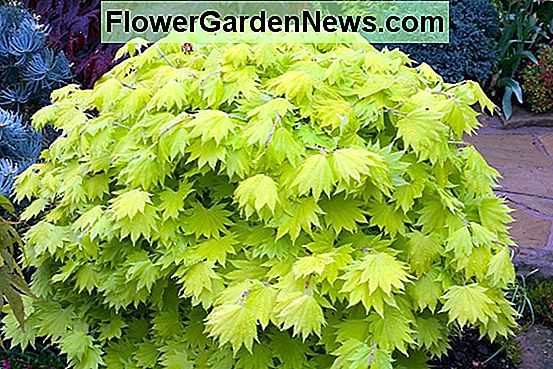Acer shirasawanum 'Aureum' (Golden Full Moon Maple)