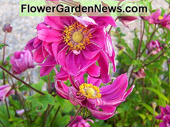 Anemone hupehensis 'Bressingham Glow' (Anemone giapponese)
