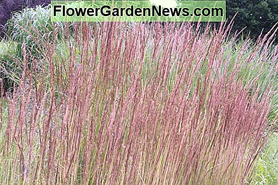Calamagrostis x acutiflora 'Avalanche' (Feather Reed Grass)