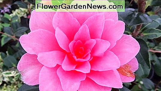 Camellia x williamsii 'Water Lily'