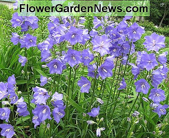 Campanula 'Samantha' (Bellflower)