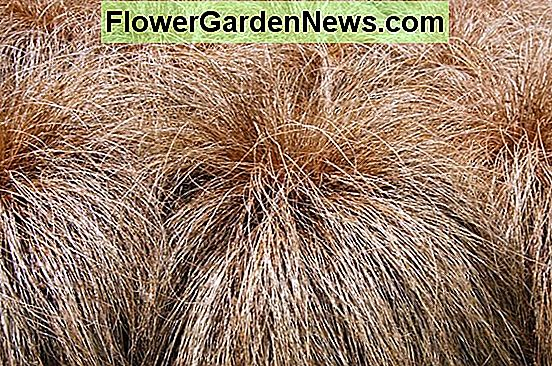 Carex comans Bronze-Leaved (New Zealand Hair Sedge)
