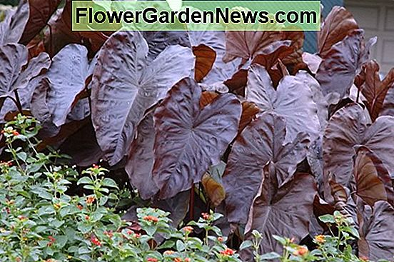 Colocasia esculenta 'Diamond Head' (Taro)