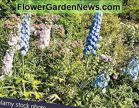 Delphinium 'Guardian White'