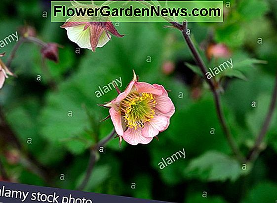 Geum 'Dark and Stormy' (Avens)