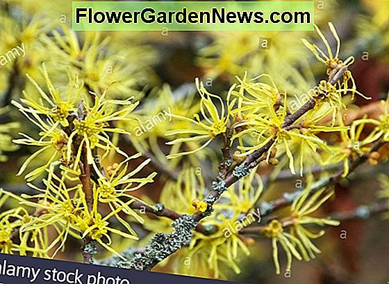 Hamamelis virginiana (Virginian Witch Hazel)