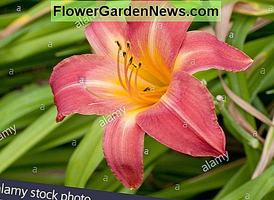 Hemerocallis 'Cherry Cheeks' (Daylily)