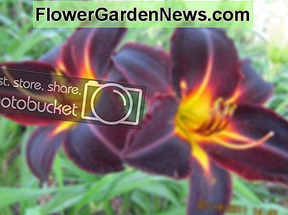 Hemerocallis 'Cinderella's Dark Side' (Daylily)