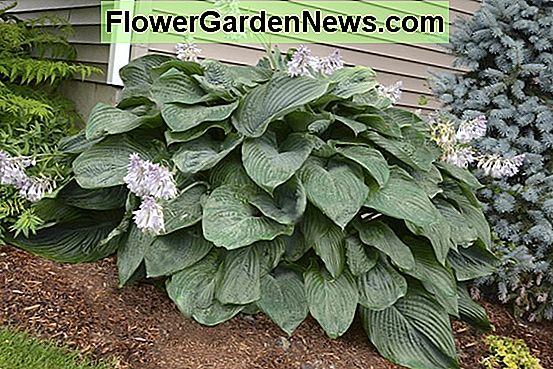 Hosta 'Empress Wu' (Piantaggine Lily)