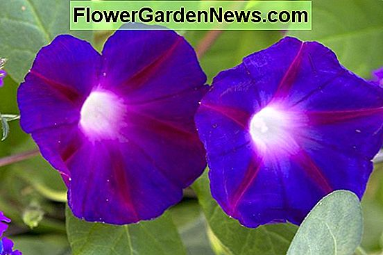 Ipomoea purpurea (Morning Glory)