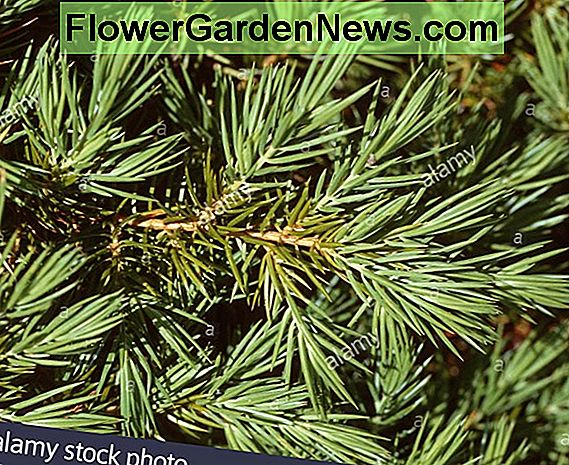 Juniperus rigida subsp. conferta 'Blue Pacific' (Shore Juniper)