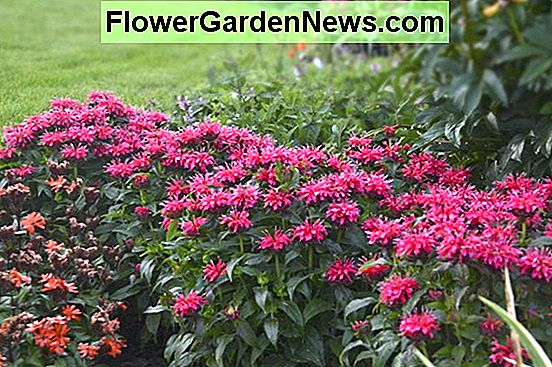 Monarda 'Cherry Pops' (Bee Balm)