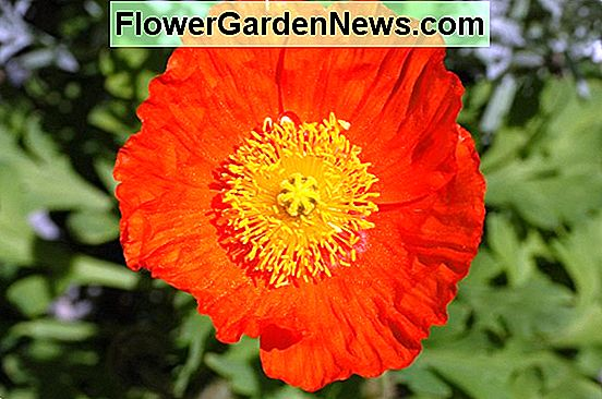 Papaver nudicaule 'Champagne Bubbles Orange' (Iceland Poppy)