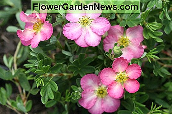 Potentilla fruticosa 'Happy Face Hearts' (Shrubby Cinquefoil)