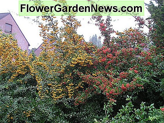 Pyracantha coccinea 'Red Cushion' (Scarlet Firethorn)