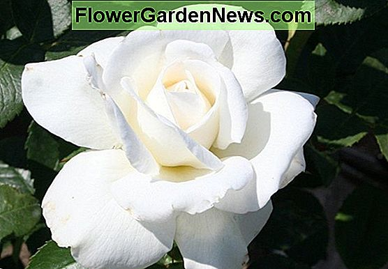 Rosa 'Full Sail' (Hybrid Tea Rose)
