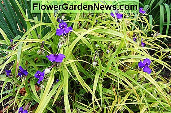 Tradescantia (Andersoniana Group) 'Concord Grape' (Spider Lily)