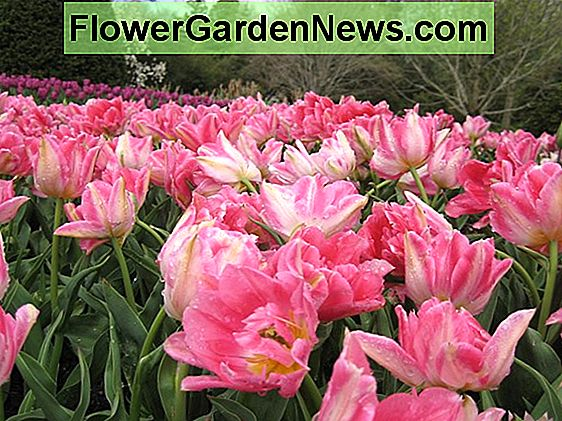 Tulipa 'Peach Blossom' (Double Early Tulip)