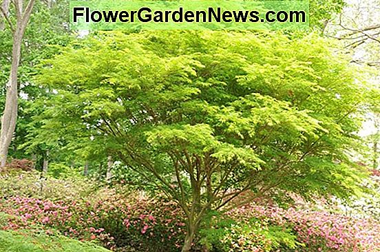Acer palmatum 'Butterfly' (acero giapponese)