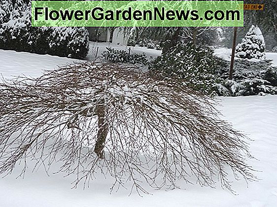 Acer palmatum 'Winter Flame' (Coral Bark Maple)