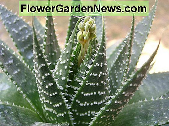 Aloe aristata (Torch Plant)