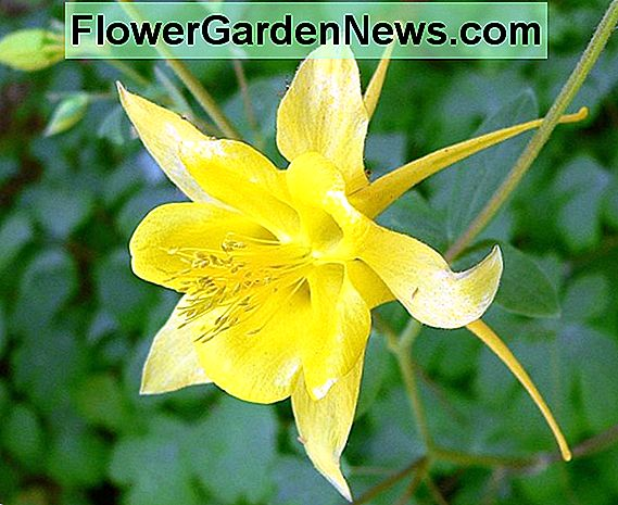 Aquilegia chrysantha 'Yellow Queen' (Golden Columbine)