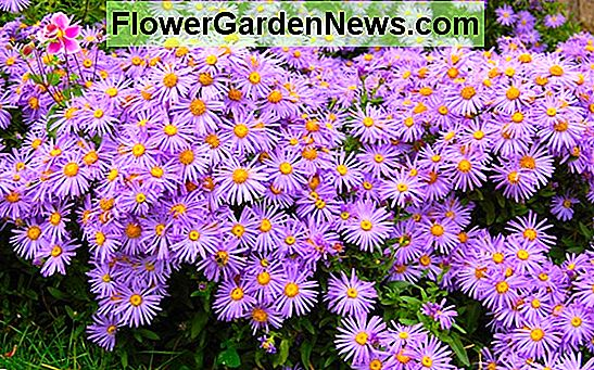 Aster amellus 'King George' (Aster italiani)