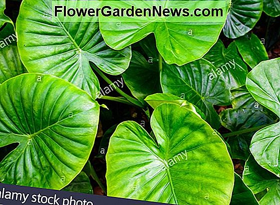 Caladium 'Red Flash' (Angel Wings)