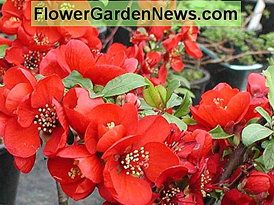 Chaenomeles x superba 'Crimson and Gold' (Cotogna giapponese)