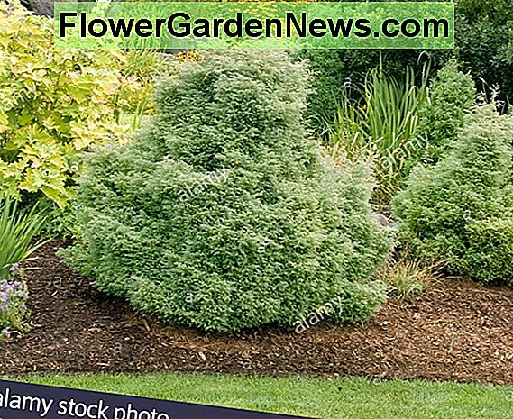 Chamaecyparis lawsoniana 'Silver Threads' (Lawson Cypress)