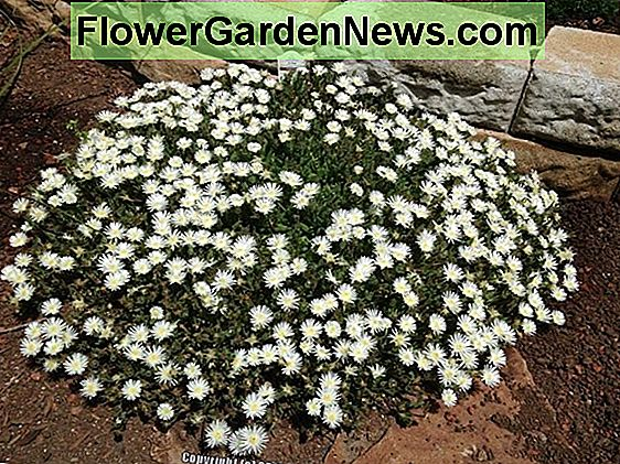 Delosperma 'Jewel of the Desert Moonstone' (Ice Plant)