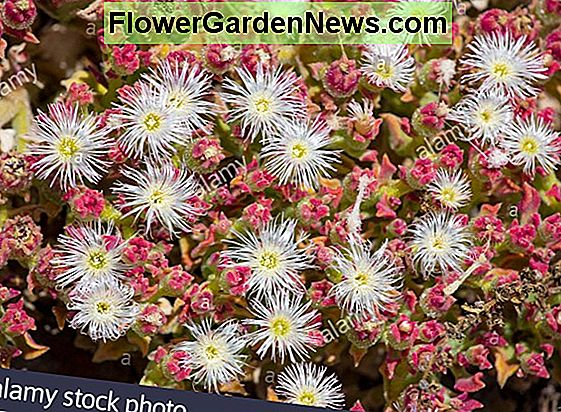 Delosperma 'Wheels of Wonder - Golden Wonder' (Ice Plant)