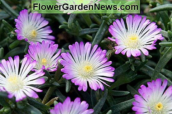 Delosperma 'Wheels of Wonder - Violet Wonder' (Ice Plant)